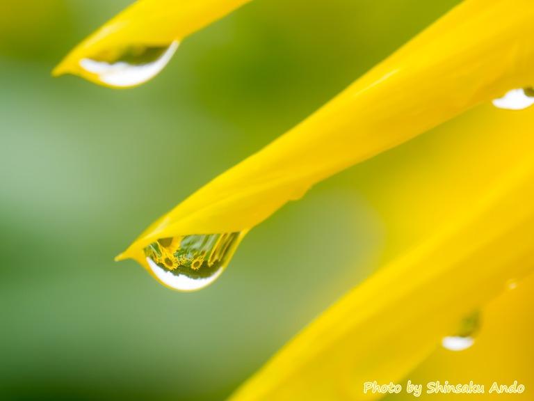水滴の中のヒマワリ-2