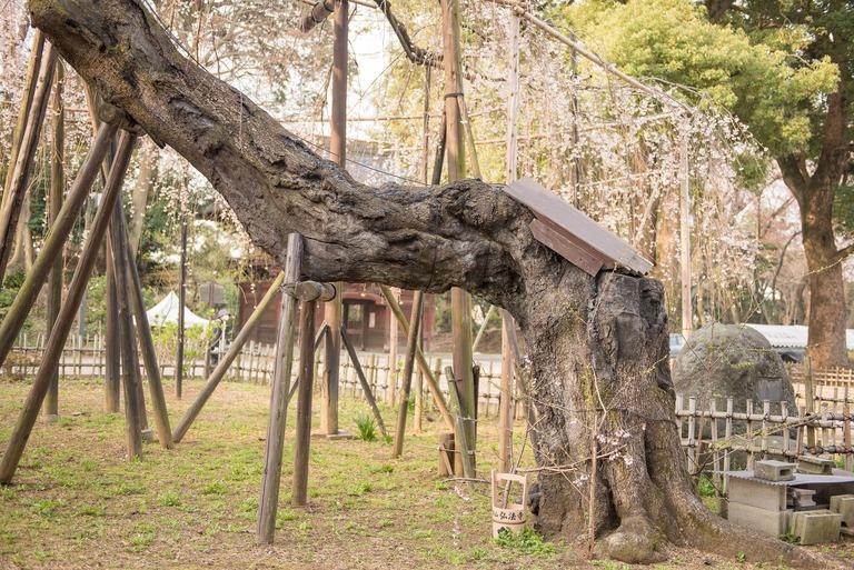 伏姫桜の根っこ