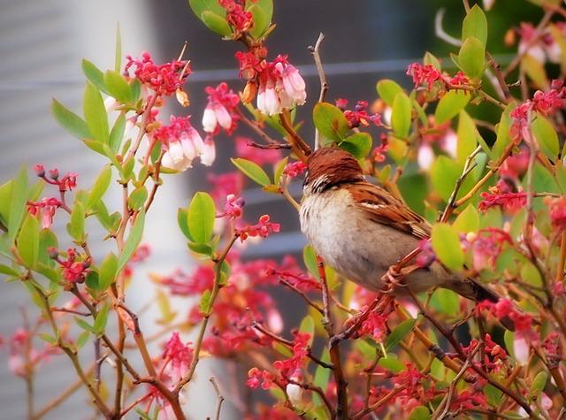 ブルーベリーの花(5月4日)