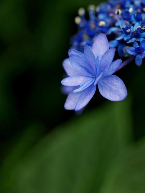 近所の紫陽花⑦
