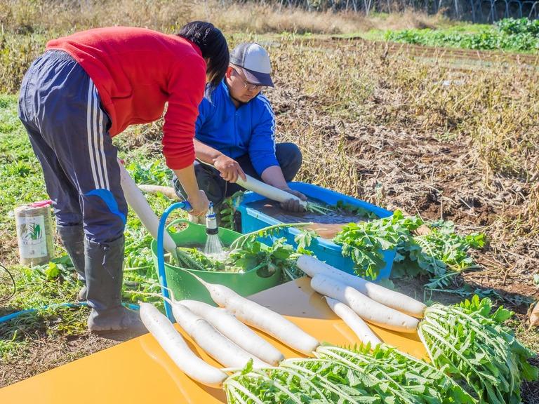 山田農場の一年・十一月|たくあん作り-12