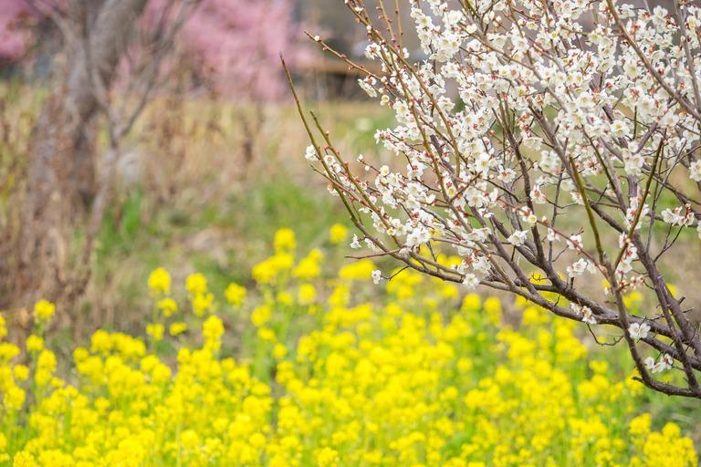 梅と菜の花と桜