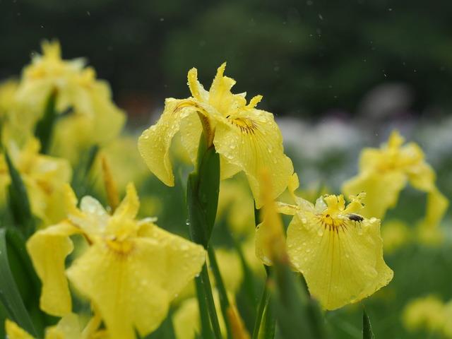 菖蒲の花(黄)