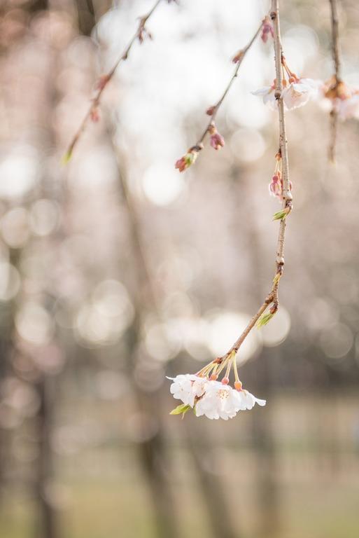 市川真間・弘法寺のしだれ桜‐5