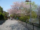 石神井池と桜