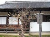 弘道館の蝋梅