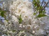 フランクフルト桜
