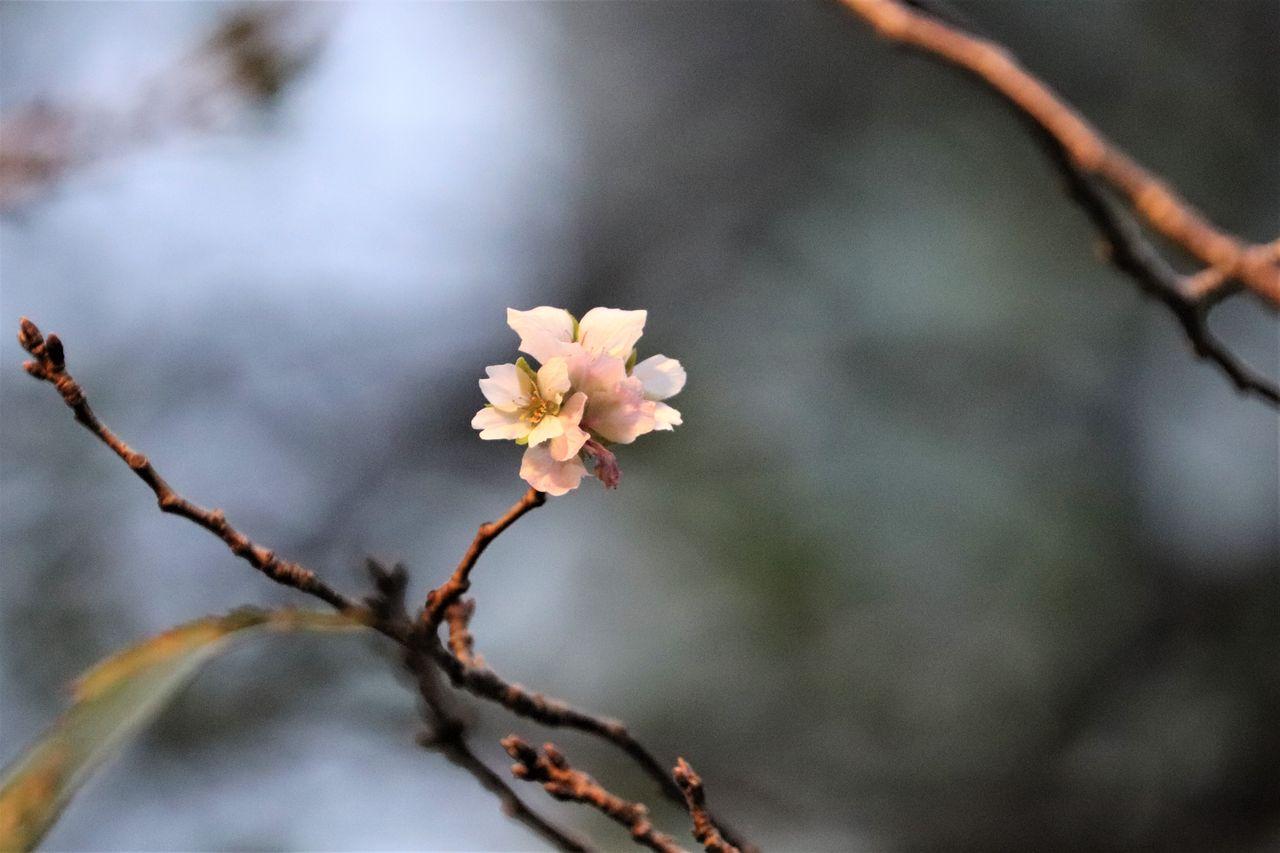 目黒川秋の桜その2IMG_5571補正済み