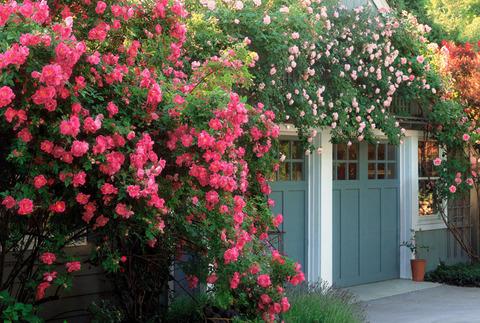 54eb7e6ba3277_-_01-one-glorious-garden-roses-xln