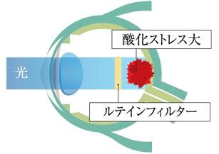 眼に最も有害な光からルテインが守りますが損傷する