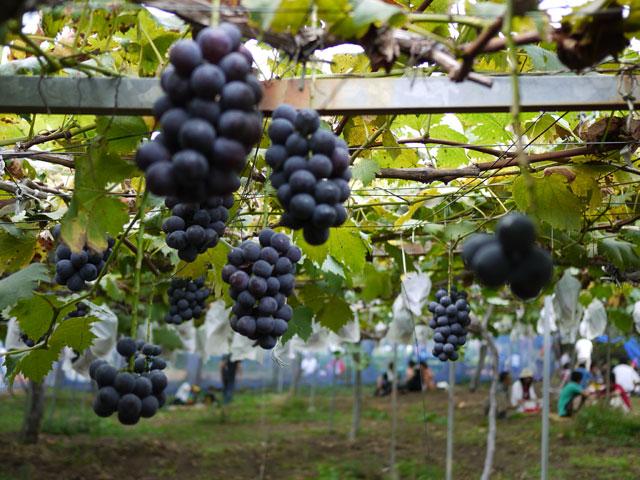 フルーツの森平田観光農園ぶどう畑