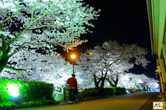 一の坂川の桜_06