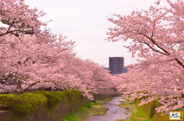 一の坂川の桜_02
