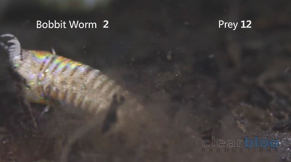 オニイソメ Komodo Bobbit Worms