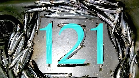 カタクチイワシ 121匹 健啖隊