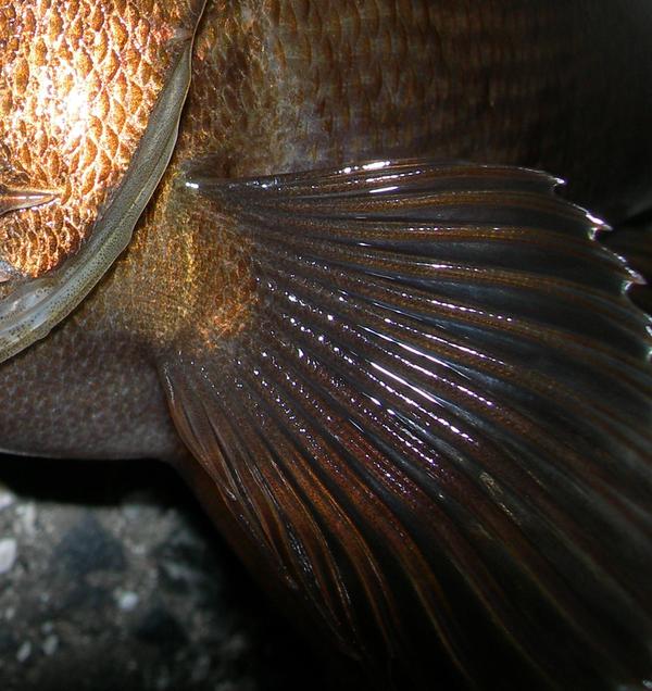 胸鰭軟条 アカメバル クロメバル シロメバル 高知