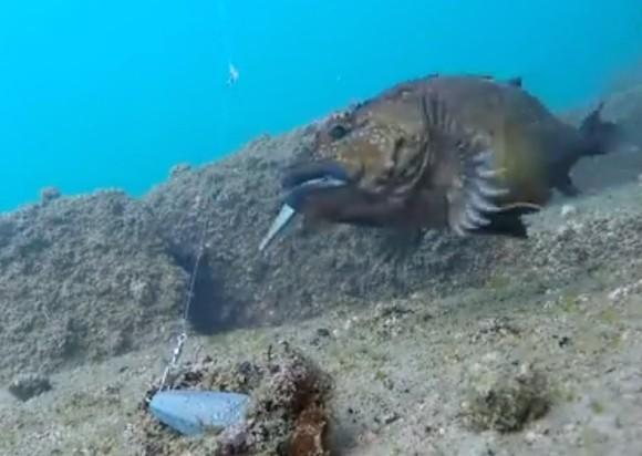 カサゴ ガシラ 捕食 ヒット 水中