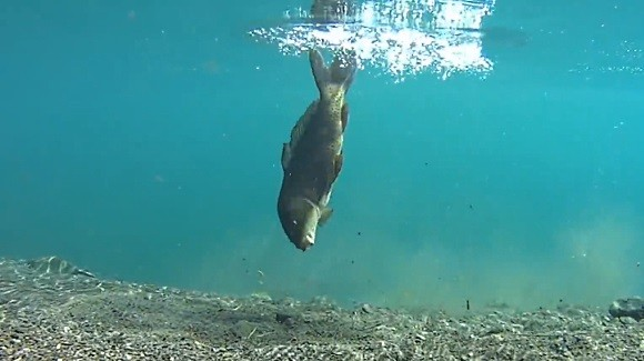 コイ 釣り 水中映像 Kakapon Supopon