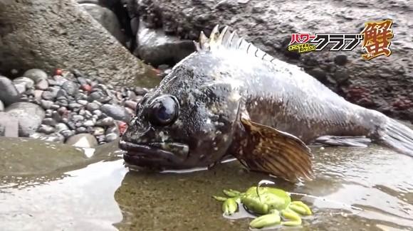 パワークラブ マルキュー 根魚 カサゴ ガシラ 蟹