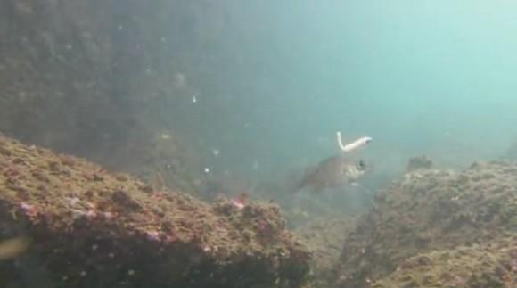 メバル ワーム 水中映像 捕食