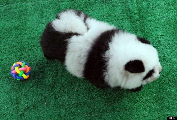 o-PANDA-DOGS-570 (2)