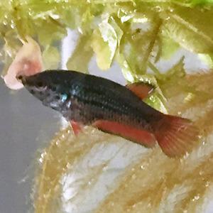 ベタ稚魚2