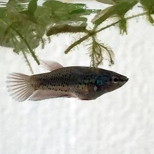 ベタ稚魚3
