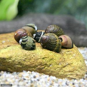 カラー石巻貝(4匹)