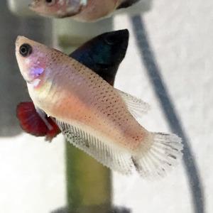 鯉ベタ稚魚