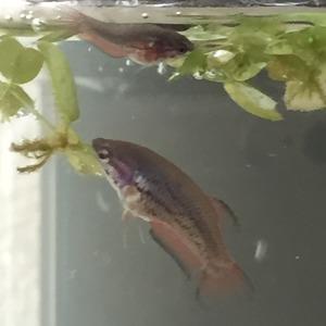 ベタ稚魚4