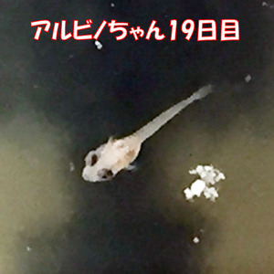 稚魚19日目_1698