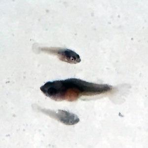 稚魚43日目