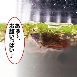 稚魚54日目