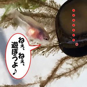 稚魚40日目