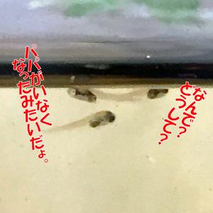 稚魚5日目