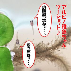 鯉ベタ稚魚24日目