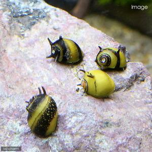 カラーサザエ石巻貝(3匹)