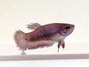 0cm 鯉ベタ プラカット メス ファンシーパープルレッド