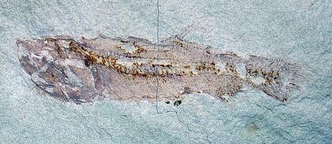 アオモリムカシクジラウオ