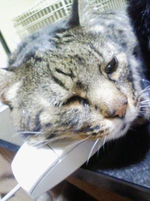 マウスをマクラにするキャット
