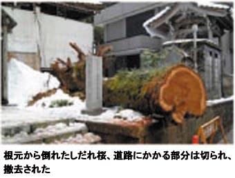 桜倒木朝日新聞補正