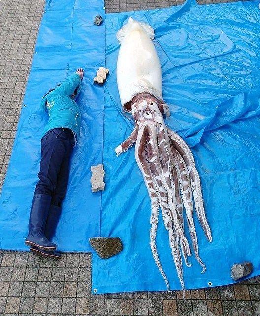 【画像あり】またも巨大ダイオウイカが漂着…一方富山湾では今年9匹目のリュウグウノツカイ出現