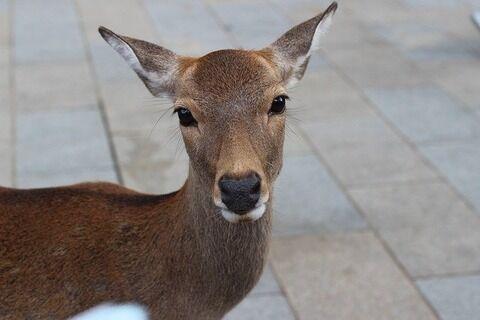 【悲報】奈良の鹿、とばっちりで殺害されてしまう・・・