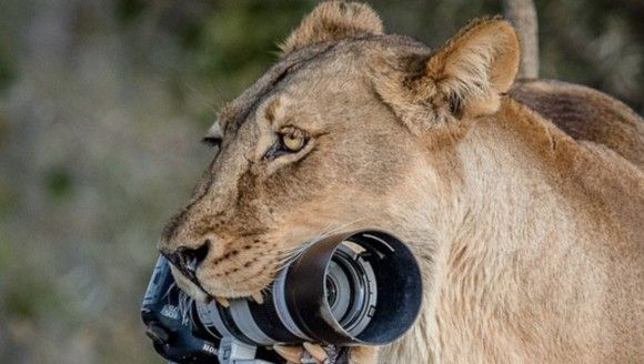 子供たちの遊び道具にちょうどいいわ。母ライオンがカメラマンから高価なカメラを奪っていきました(ボツワナ)