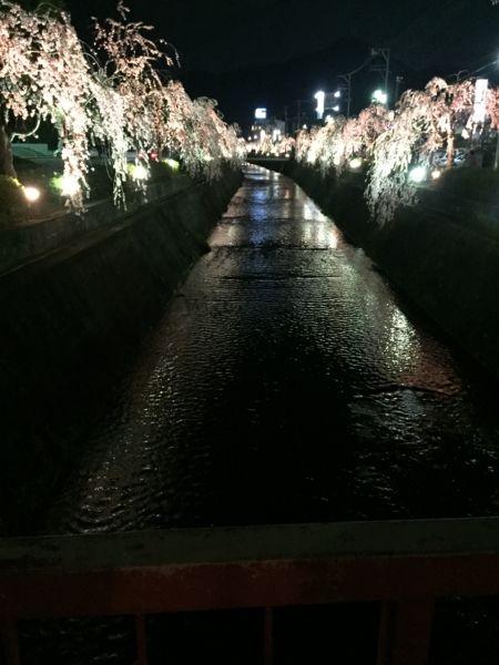 妖艶なしだれ桜を堪能 山形県天童市「倉津川枝垂桜」