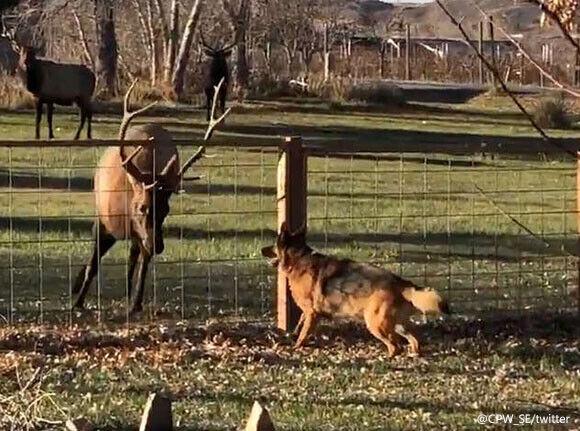 今日も遊びに来たよ!親友となった犬とアカシカ、フェンス越しで追いかけっこ(アメリカ)