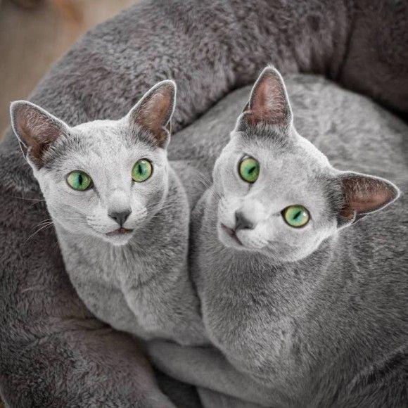 エメラルド色の瞳を持つ美しいロシアンブルーの姉妹(イギリス)