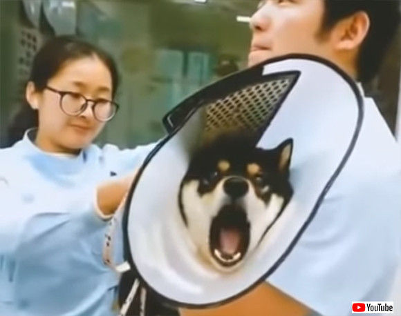 ムンクの叫びならぬ柴犬の叫び。注射を打たれたときの絶望感が半端ない柴犬