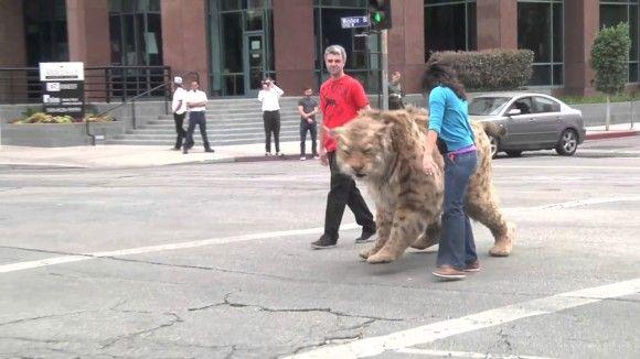 どでかい猫散歩させてるなって、えっ!?もしも絶滅した巨大ネコ科を散歩をさせてるところに遭遇したら人々はどんな反応をする?というどっきり。