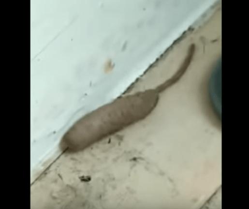 【動画あり】ネズミのような謎の生物を撮影した動画がイギリスで話題に